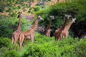Three giraffes on savanna. Safari in Tsavo West, Kenya, Africa poster