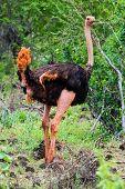 Ostrich in bush in Africa. Safari in Tsavo West, Kenya poster
