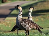 A pair of Endangered Hawaiin Geese (Nene) on Kauai in early morning light poster