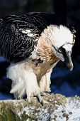 Lammergeyer or Bearded Vulture Gypaetus barbatus close-up poster