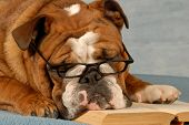 dog obedience school - english bulldog reading a novel poster