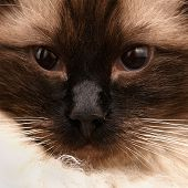 Close-up portrait of a young siamese long haired cat with unusual eyes poster