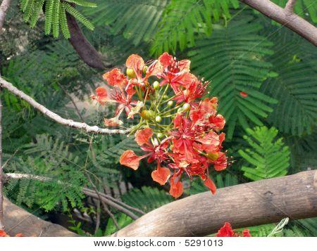 Flamboyant Flame Tree-fourteen