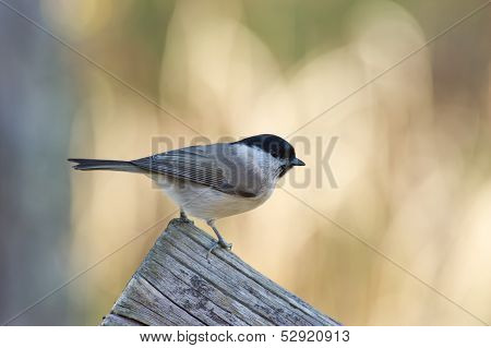 Marsh Tit (Poecile/Parus Palustris)