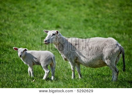 A mother sheep a ewe with her lamb in a green pasture poster