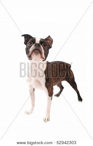 Boston Terrier Dog Standing On White