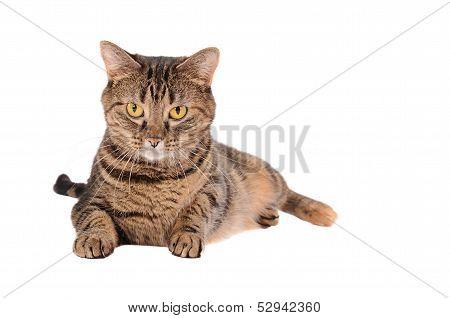 A Grumpy Looking Tabby Cat