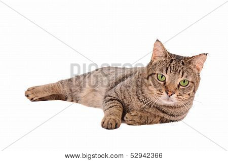 Serious Looking Tabby Cat On A White Background