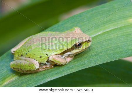 Pacific Treefrog
