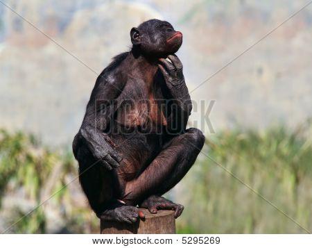 Female Bonobo