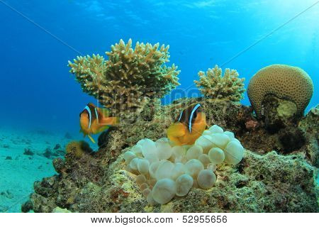 Pair of Red Sea Anemonefish in Bubble Anemone