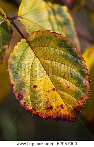 Autumn Colors - Leaf