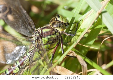 Southern Hawker - grass