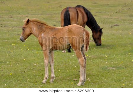 New Forest Pony foal with mother grazing poster