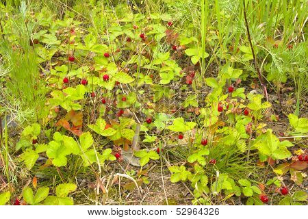 Wild Strawberry Thickets