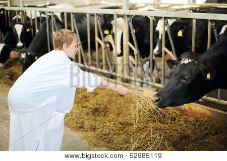 Happy boy in white robe holds out hay for cow in stall with many cows.