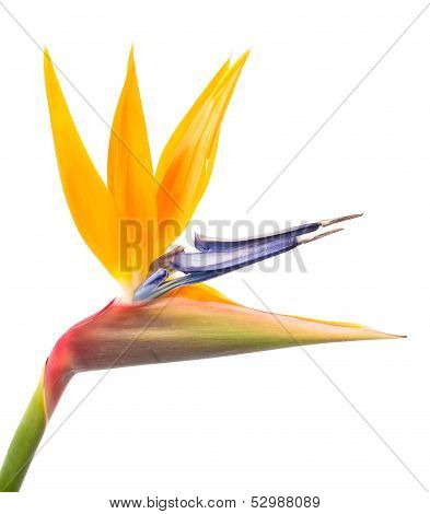 Bird of Paradise Flower Isolated on a White Background, Tropical Flower