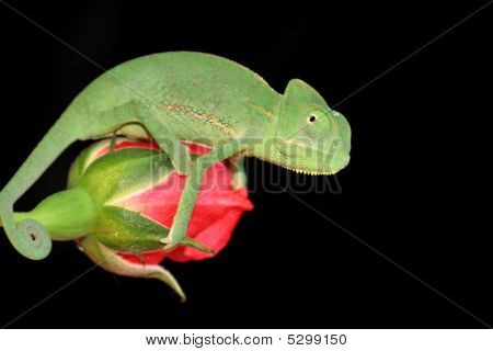 Chameleon And Rose