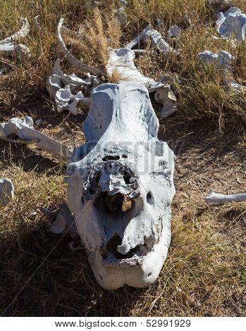 Skull Of Large Rhino In The Grass In Zimbabwe