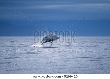 Humpback whale breaching in Frederick Sound SW Alaska poster