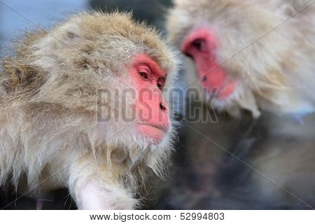 Macaques at Jigokudani Monkey Park in Nagano, Japan. poster