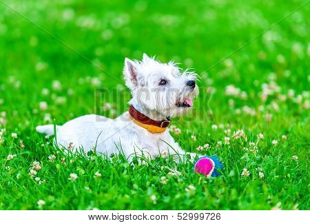 Attentive West highland white terrier with ball dog toy on green grass and clover background poster
