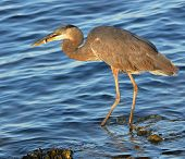 Beautiful Tricolor Heron on the shores of Tampa Bay, with his catch. poster