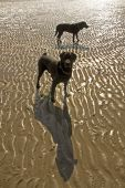 Dog and Patterns in the sand at low tide at Penrhos beach Isle of Anglesey poster