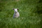 A lamb isolated against a green meadow poster