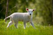 A lamb in a green pasture looking at the camera poster