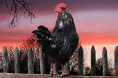 black cock sitting on fence in village. rising of sun. poster