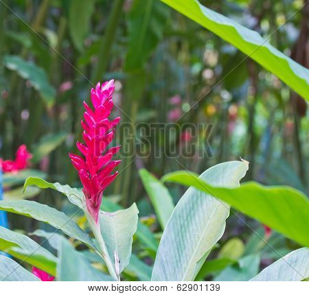 Torch Ginger Red Flower (alpinia Purpurata)