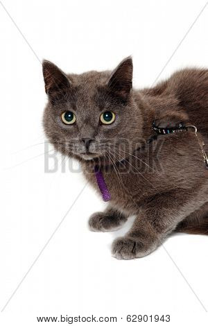 Gray cat is looking. Isolated on a clean white background.