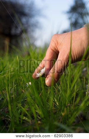 Female Hand Picking Small Daisy In Green Meadow