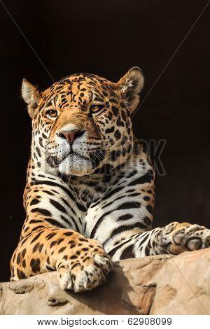 Closeup portrait of jaguar or Panthera onca