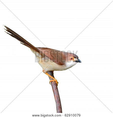 Yellow-eyed Babbler Bird