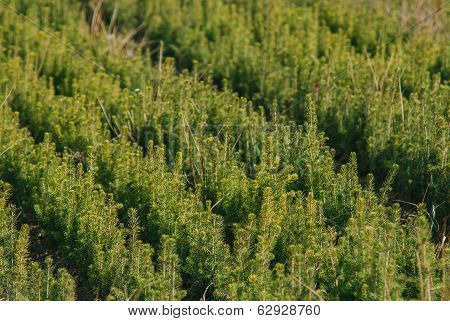 Plantation Of Young Evergreen Tree
