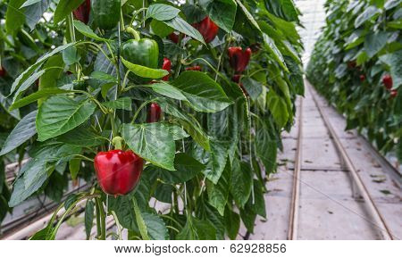 Hydroponic Paprika Cultivation