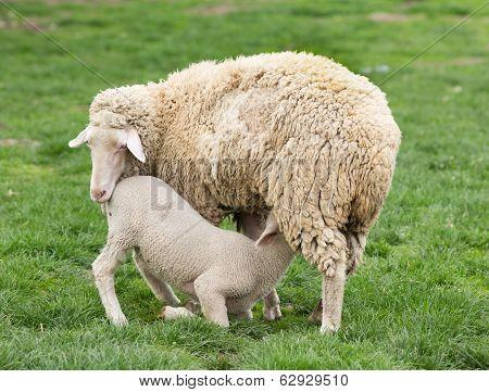 Wuerttemberg Sheep
