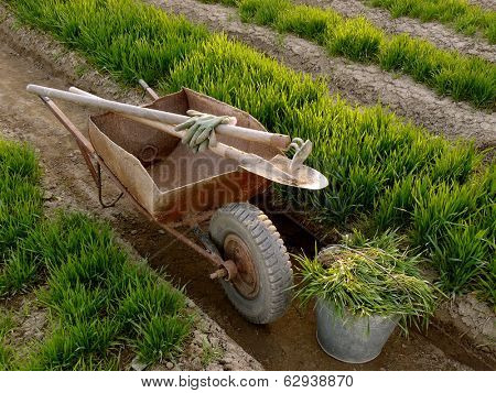 old wheelbarrow with garden tools between vegetable beds with growing wheat as green manure poster