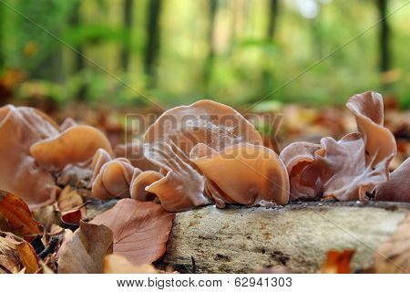 Mushrooms Auricularia Auricula-judae