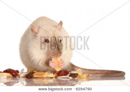 Cute white pet rat enjoying a feast of nuts and raisons poster