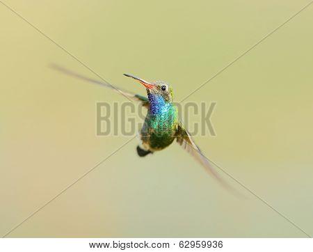 Broad Billed Hummingbird in Flight