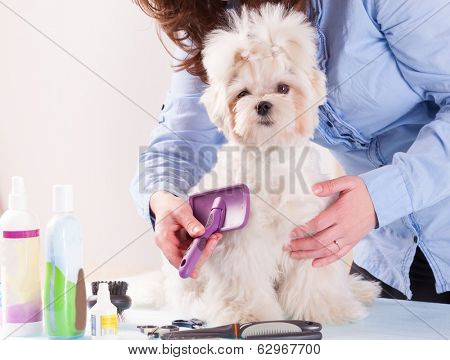 Woman grooming a dog purebreed maltese.