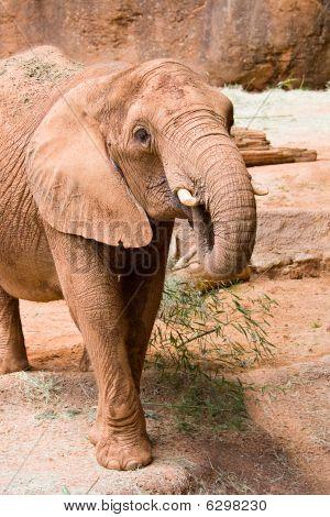 poster of A big wild African elephant. Atlanta zoo Georgia USA