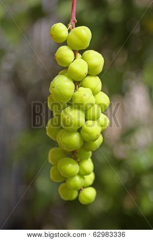 Phyllanthus Acidus, Otaheite Gooseberry