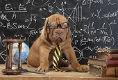 Young cute dog in front of blackboard during a math class. Dogue de Bordeaux Puppy (French mastiff). poster