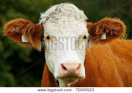 Beautiful Closeup Of A Austrian Cow's Head
