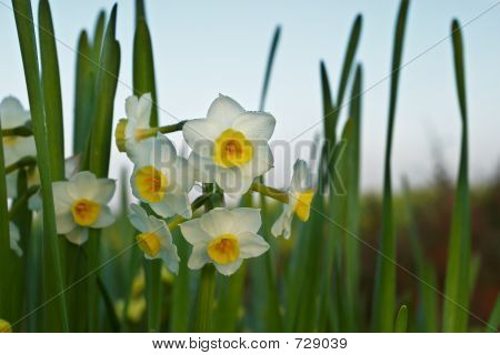 Flower Of Narcissus ( Narcissus Tazetta )