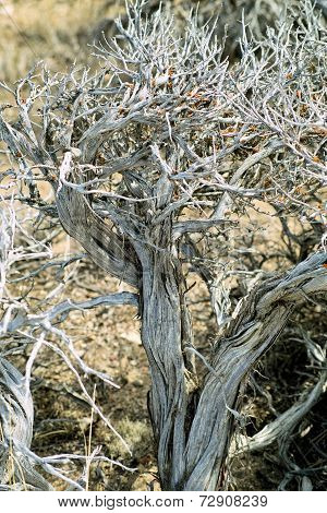 Dried Desert Bush